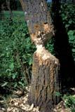 ANI BEA MIS  AB  DSR1000344D  VT  TREE DAMAGED BY BEAVEREDMONTON                          08/..© DUANE S. RADFORD           ALL RIGHTS RESERVEDAB_;ALBERTA;ANIMALS;BEAVERS;EDMONTON;PLAINS;PRAIRIES;SUMMER;TREES;VTL LONE PINE PHOTO              (306) 683-0889