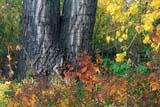 ANI BEA MIS  AB  KJM0311613D      WIRE MESH ON TREE TRUNKSMORRIN                             09/..© KEVIN MORRIS                ALL RIGHTS RESERVEDAB_;ALBERTA;ANIMALS;AUTUMN;BEAVERS;CONSERVATION;ENVIRONMENTAL_IMPACT;MORRIN;PLAINS;PRAIRIES;TREES;WIRE_MESHLONE PINE PHOTO              (306) 683-0889