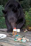 ANI BEA BLA  ON  BMM1001140D  VTBLACK BEAR RAIDING PICNIC TABLEMASSEY                               ../..© BEV McMULLEN                 ALL RIGHTS RESERVEDANIMALS;BEARS;BLACK_BEAR;CAMPING;CENTRAL;ECOLOGICAL_IMPACT;ENCROACHMENT;FEEDING;FOOD;MASSEY;ON_;ONTARIO;SHIELD;SUMMER;VTLLONE PINE PHOTO              (306) 683-0889