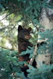 ANI BEA BLA  MB  PNB2000443D  VTBLACK BEAR CUB IN TREE (URSUS AMERICANUS)RIDING MOUNTAIN NAT. PK    ../..© PAUL BROWNE                 ALL RIGHTS RESERVEDANIMALS;BABIES;BEARS;BLACK_BEAR;CUBS;MANITOBA;MB_;NP_;PLAINS;PLATEAU;PRAIRIES;RIDING_MOUNTAIN_NP;TREES;VTLLONE PINE PHOTO              (306) 683-0889