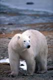 ANI BEA POL  MB  GMM0001201D  VTPOLAR BEAR WALKING ON SHOREHUDSON BAYCHURCHILL                           10..© GARFIELD MACGILLIVRAY  ALL RIGHTS RESERVEDANIMALS;BEARS;CHURCHILL;HUDSON_BAY;MANITOBA;MB_;POLAR_BEAR;SHIELD;VTL;WINTERLONE PINE PHOTO               (306) 683-0889