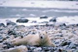 ANI BEA POL  MB  GMM0001202DPOLAR BEAR RESTING ON SNOWY SHOREHUDSON BAYCHURCHILL                           10..© GARFIELD MACGILLIVRAY  ALL RIGHTS RESERVEDANIMALS;AUTUMN;BEARS;CHURCHILL;HUDSON_BAY;MANITOBA;MB_;POLAR_BEAR;SHIELDLONE PINE PHOTO               (306) 683-0889