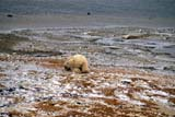 ANI BEA POL  MB  GMM0001203DPOLAR BEAR RESTING ON SNOWY SHOREHUDSON BAYCHURCHILL                           10..© GARFIELD MACGILLIVRAY  ALL RIGHTS RESERVEDANIMALS;AUTUMN;BEARS;CHURCHILL;HUDSON_BAY;MANITOBA;MB_;POLAR_BEAR;SHIELDLONE PINE PHOTO               (306) 683-0889