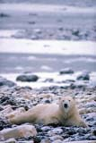 ANI BEA POL  MB  GMM0001205D  VTPOLAR BEAR RESTING ON SNOWY SHOREHUDSON BAYCHURCHILL                          10..© GARFIELD MACGILLIVRAY  ALL RIGHTS RESERVEDANIMALS;AUTUMN;BEARS;CHURCHILL;HUDSON_BAY;MANITOBA;MB_;POLAR_BEAR;SHIELD;VTLLONE PINE PHOTO               (306) 683-0889