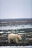 ANI BEA POL  MB  GMM0001206D  VTPOLAR BEAR WALKING ON SNOWY SHOREHUDSON BAYCHURCHILL                           10..© GARFIELD MACGILLIVRAY  ALL RIGHTS RESERVEDANIMALS;AUTUMN;BEARS;CHURCHILL;HUDSON_BAY;MANITOBA;MB_;POLAR_BEAR;SHIELD;VTLLONE PINE PHOTO               (306) 683-0889