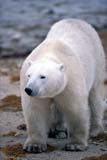 ANI BEA POL  MB  GMM0001207D  VTPOLAR BEAR WALKINGHUDSON BAYCHURCHILL                           10..© GARFIELD MACGILLIVRAY  ALL RIGHTS RESERVEDANIMALS;ARCTIC;BEARS;CHURCHILL;HUDSON_BAY;MANITOBA;MB_;POLAR_BEAR;SHIELD;VTL;WINTERLONE PINE PHOTO               (306) 683-0889
