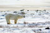 ANI BEA POL  MB  JLB0002240DPOLAR BEAR ON TUNDRACHURCHILL                         07..© JOHN L. BYKERK              ALL RIGHTS RESERVEDANIMALS;BEARS;CHURCHILL;MANITOBA;MB_;POLAR_BEAR;SHIELD;SNOW;TUNDRA;WINTERLONE PINE PHOTO              (306) 683-0889