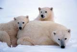 ANI BEA POL  MB  JLB0105930D            MOTHER POLAR BEAR AND TWO CUBS IN SNOWCHURCHILL                               10/. .© JOHN L. BYKERK                   ALL RIGHTS RESERVEDANIMALS;ARCTIC;AUTUMN;BEARS;CAMOUFLAGE;CHURCHILL;CUBS;FAMILIES;FEMALE;MANITOBA;MB_;POLAR_BEAR;SHIELD;SNOWLONE PINE PHOTO                  (306) 683-0889
