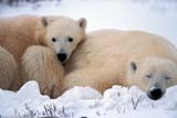 ANI BEA POL  MB  JLB0106802DMOTHER POLAR BEAR AND CUB IN SNOWCHURCHILL                          10..© JOHN L. BYKERK              ALL RIGHTS RESERVEDANIMALS;ARCTIC;BABIES;BEARS;CHURCHILL;CUBS;FAMILIES;MANITOBA;MB_;POLAR_BEAR;SHIELD;WINTERLONE PINE PHOTO              (306) 683-0889
