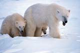 ANI BEA POL  MB  JLB0106812DMOTHER POLAR BEAR AND TWO CUBS IN SNOWCHURCHILL                           10..© JOHN L. BYKERK               ALL RIGHTS RESERVEDANIMALS;ARCTIC;BABIES;BEARS;CHURCHILL;CUBS;FAMILIES;MANITOBA;MB_;POLAR_BEAR;SHIELD;WINTERLONE PINE PHOTO               (306) 683-0889