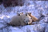 ANI BEA POL  MB  JLB0106814D            MOTHER POLAR BEAR AND TWO CUBS IN SNOWCHURCHILL                               10/. .© JOHN L. BYKERK                   ALL RIGHTS RESERVEDANIMALS;ARCTIC;BABIES;BEARS;CAMOUFLAGE;CHURCHILL;CUBS;FAMILIES;MANITOBA;MB_;POLAR_BEAR;SHIELD;WINTERLONE PINE PHOTO                  (306) 683-0889