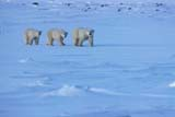 ANI BEA POL  MB  JLB1812725DMOTHER POLAR BEAR AND TWO CUBS ON ICE COVERED HILLCHURCHILL                          11..© JOHN L. BYKERK               ALL RIGHTS RESERVEDANIMALS;BEARS;CHURCHILL;CUBS;FAMILIES;ICE;MANITOBA;MB_;PACK;PACK_ICE;POLAR_BEAR;SHIELD;WINTERLONE PINE PHOTO               (306) 683-0889