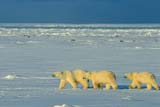 ANI BEA POL  MB  JLB1812801DMOTHER POLAR BEAR AND TWO CUBS ON PACK ICECHURCHILL                            11..© JOHN BYKERK                    ALL RIGHTS RESERVEDANIMAL;BEARS;CHURCHILL;CUBS;FAMILIES;ICE;PACK;PACK_ICE;MANITOBA;MB_;POLAR_BEAR;SHIELD;WINTERLONE PINE PHOTO                  (306) 683-0889