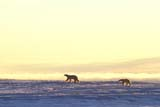 ANI BEA POL  MB  JLB1812901DMOTHER POLAR BEAR AND CUB ON PACK ICE, SEA FOG BEHINDCHURCHILL                          11..© JOHN L. BYKERK               ALL RIGHTS RESERVEDANIMALS;BEARS;CHURCHILL;CUBS;FOG;ICEMANITOBA;;MB_;PACK;PACK_ICE;POLAR_BEAR;SHIELD;WINTERLONE PINE PHOTO               (306) 683-0889