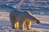 ANI BEA POL  MB  JLB1813008DPOLAR BEAR ON ICECHURCHILL                               11..© JOHN L. BYKERK                   ALL RIGHTS RESERVEDANIMALS;BEARS;CHURCHILL;ICE;PACK;PACK_ICE;MANITOBA;MB_;POLAR_BEAR;SHIELD;WINTER  LONE PINE PHOTO                  (306) 683-0889