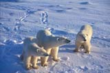 ANI BEA POL  MB  JLB1813033DMOTHER POLAR BEAR AND TWO CUBS ON PACK ICECHURCHILL                          11..© JOHN L. BYKERK               ALL RIGHTS RESERVEDANIMALS;BEARS;CHURCHILL;CUBS;FAMILIES;MANITOBA;MB_;PACK_ICE;POLAR_BEAR;SHIELD;SNOW;WINTERLONE PINE PHOTO               (306) 683-0889