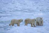 ANI BEA POL  MB  JLB1813228DMOTHER POLAR BEAR AND TWO CUBS ON SHORE OF HUDSON BAYCHURCHILL                          11..© JOHN L. BYKERK               ALL RIGHTS RESERVEDANIMALS;BEARS;CHURCHILL;CUBS;FAMILIES;HUDSON_BAY;MANITOBA;MB_;POLAR_BEAR;SHIELD;SNOW;WINTERLONE PINE PHOTO               (306) 683-0889