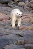 ANI BEA POL  NU  JLB0102734D  VTPOLAR BEAR WALKING ON ROCKY SHORELINEWAGER BAY                        08..© JOHN L. BYKERK              ALL RIGHTS RESERVEDANIMALS;BEARS;NU_;NUNAVUT;POLAR_BEAR;SHIELD;SUMMER;VTL;WAGER_BAYLONE PINE PHOTO               (306) 683-0889