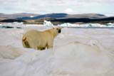 ANI BEA POL  NU  JLB0102833DPOLAR BEAR ON PACK ICEWAGER BAY                        07..© JOHN L. BYKERK              ALL RIGHTS RESERVEDANIMALS;ARCTIC;BEARS;ICE;NU_;NUNAVUT;PACK;PACK_ICE;POLAR_BEAR;SUMMER;WAGER_BAYLONE PINE PHOTO               (306) 683-0889