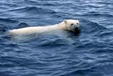 ANI BEA POL  NU  JLB0102928DPOLAR BEAR SWIMMING IN WATERWAGER BAY                        ....© JOHN L. BYKERK              ALL RIGHTS RESERVEDANIMALS;ARCTIC;BEARS;NU_;NUNAVUT;POLAR_BEAR;SUMMER;SWIMMING;WAGER_BAY;WATERLONE PINE PHOTO               (306) 683-0889