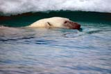 ANI BEA POL  NU  JLB0103026DPOLAR BEAR SWIMMING IN WATER ICE FLOE BEHIND WAGER BAY                        07..© JOHN L. BYKERK              ALL RIGHTS RESERVEDANIMALS;ARCTIC;BEARS;ICE;NP_;NU_;NUNAVUT;POLAR_BEAR;SWIMMING;WAGER_BAY;WATER;WINTER LONE PINE PHOTO               (306) 683-0889