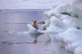 ANI BEA POL  NU  JLB0103130DPOLAR BEAR AT EDGE OF PACK ICE WAGER BAY                        07..© JOHN L. BYKERK              ALL RIGHTS RESERVEDANIMALS;ARCTIC;BEARS;ICE;NU_;NUNAVUT;PACK;PACK_ICE;POLAR_BEAR;SWIMMING;WAGER_BAY;WATER;WINTERLONE PINE PHOTO               (306) 683-0889