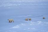 ANI BEA POL  NU  JLB0106502DFEMALE POLAR BEAR AND THREE CUBSCAPE CHURCHILLWAPUSK NATIONAL PARK    11..© JOHN L. BYKERK              ALL RIGHTS RESERVEDANIMALS;BABIES;BEARS;CHURCHILL;CUBS;FAMILIES;FEMALE;NP_;NU_;NUNAVUT;POLAR_BEAR;SHIELD;SNOW;WAPUSK_NP;WINTERLONE PINE PHOTO              (306) 683-0889