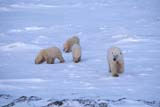 ANI BEA POL  NU  JLB0106513DFEMALE POLAR BEAR AND THREE CUBSCAPE CHURCHILLWAPUSK NATIONAL PARK    11..© JOHN L. BYKERK              ALL RIGHTS RESERVEDANIMALS;BEARS;CHURCHILL;CUBS;FAMILIES;FEMALE;NP_;NU_;NUNAVUT;POLAR_BEAR;SHIELD;WAPUSK_NP;WINTERLONE PINE PHOTO               (306) 683-0889