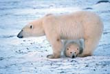 ANI BEA POL  NU  JLB0106823DMOTHER POLAR BEAR AND CUB CAPE CHURCHILLWAPUSK NATIONAL PARK    11..© JOHN L. BYKERK              ALL RIGHTS RESERVEDANIMALS;BEARS;CAPE_CHURCHILL;CUBS;FAMILIES;NP_;NU_;NUNAVUT;POLAR_BEAR;SHIELD;WAPUSK_NP;WINTERLONE PINE PHOTO               (306) 683-0889