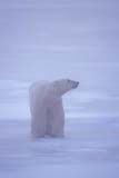 ANI BEA POL  NU  JLB0106828D  VTMALE POLAR BEAR ON ICECAPE CHURCHILLWAPUSK NATIONAL PARK    11..© JOHN L. BYKERK              ALL RIGHTS RESERVEDANIMALS;BEARS;CAPE_CHURCHILL;ICE;MALE;NP_;NU_;NUNAVUT;POLAR_BEAR;SHIELD;VTL;WAPUSK_NP;WINTERLONE PINE PHOTO               (306) 683-0889