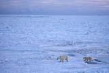 ANI BEA POL  NU  JLB0106830DPOLAR BEAR AND CUB ON PACK ICECAPE CHURCHILLWAPUSK NATIONAL PARK    11..© JOHN L. BYKERK              ALL RIGHTS RESERVEDANIMALS;BEARS;CAPE_CHURCHILL;CUBS;FAMILIES;ICE;NP_;NU_;NUNAVUT;PACK;PACK_ICE;POLAR_BEAR;SCENES;SHIELD;WAPUSK_NP;WINTERLONE PINE PHOTO               (306) 683-0889