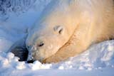 ANI BEA POL  NU  JLB0106309DMALE POLAR BEAR SLEEPING IN SNOW CHURCHILL                          10..© JOHN L. BYKERK              ALL RIGHTS RESERVEDANIMALS;AUTUMN;BEARS;CHURCHILL;MALE;NU_;NUNAVUT;POLAR_BEAR;SHIELD;SLEEPING;SNOWLONE PINE PHOTO               (306) 683-0889