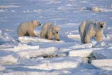 ANI BEA POL  NU  JLB0107523DMOTHER POLAR BEAR AND CUBS ON PACK ICECAPE CHURCHILL                   WAPUSK NATIONAL PARK     11..© JOHN L. BYKERK               ALL RIGHTS RESERVEDANIMALS;BEARS;CAMOUFLAGE;CAPE_CHURCHILL;CUBS;FAMILIES;ICE;NU_;NUNAVUT;PACK;PACK_ICE;POLAR_BEAR;SHIELD;WAPUSK_NP;WINTERLONE PINE PHOTO               (306) 683-0889