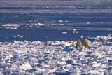 ANI BEA POL  NU  JLB0107016DPOLAR BEAR ON ICECAPE CHURCHILLWAPUSK NATIONAL PARK    11..© JOHN L. BYKERK              ALL RIGHTS RESERVEDANIMALS;BEARS;CAPE_CHURCHILL;ICE;NP_;NU_;NUNAVUT;POLAR_BEAR;SHIELD;WAPUSK_NP;WINTERLONE PINE PHOTO               (306) 683-0889