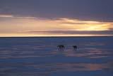 ANI BEA POL  NU  JLB0107316DMOTHER POLAR BEAR AND CUB ON PACK ICECAPE CHURCHILL                   WAPUSK NATIOANAL PARK   11..© JOHN L. BYKERK               ALL RIGHTS RESERVEDANIMALS;BEARS;CAPE_CHURCHILL;CUBS;FAMILIES;ICE;NP_;NU_;NUNAVUT;PACK;PACK_ICE;POLAR_BEAR;SCENES;SHIELD;SKY;WAPUSK_NP;WINTERLONE PINE PHOTO               (306) 683-0889