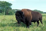 ANI BIS MIS  MB  PNB2002444DBISON BULL IN SUMMERRIDING MOUNTAIN NATIONAL PARK  ....© PAUL BROWNE                            ALL RIGHTS RESERVED  ANIMALS;BISON;BUFFALO;HORNS;MANITOBA;MB_;PLAINS;PLATEAU;PRAIRIES;RIDING_MOUNTAIN_NP;SUMMER  LONE PINE PHOTO                  (306) 683-0889