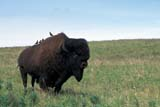 ANI BIS MIS  MB  PNB2002450DBISON BULL WITH COWBIRDS ON BACKRIDING MOUNTAIN NAT. PK   ../..© PAUL BROWNE                ALL RIGHTS RESERVEDANIMALS;BIRDS;BISON;BUFFALO;COWBIRDS;MANITOBA;MB_;NP_;PLAINS;PLATEAU;PRAIRIES;RIDING_MOUNTAIN_NP;SUMMER LONE PINE PHOTO              (306) 683-0889