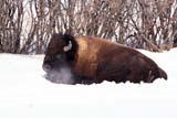 ANI BIS MIS  SK     2104107DBISON LAYING IN SNOWSASKATOON                      03/..© CLARENCE W. NORRIS     ALL RIGHTS RESERVEDANIMALS;BISON;BUFFALO;PLAINS;PRAIRIES;SASKATCHEWAN;SASKATOON;SK_;SNOW;WINTERLONE PINE PHOTO              (306) 683-0889