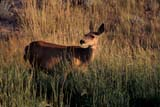 ANI DEE MUL  AB     1005436DMULE DEER IN GRASS AT SUNSET(ODOCOLEUS HEMIONUS)DINOSAUR PROV PK              07/03© CLARENCE W. NORRIS       ALL RIGHTS RESERVEDAB_;ALBERTA;ANIMALS;BADLANDS;DEER;DINOSAUR_PP;MULE_DEER;PLAINS;PP_;PRAIRIES;SUMMER;SUNSETSLONE PINE PHOTO               (306) 683-0889