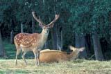 ANI DEE BAR  AB     1215031DBARASINGHA DEERPOLAR PARKEDMONTON                         07/..© CLARENCE W. NORRIS       ALL RIGHTS RESERVEDAB_;ALBERTA;ANIMALS;ANTLERS;BARASINGHA_DEER;DEER;EDMONTON;PLAINS;POLAR_PARK;PRAIRIES;SUMMER;VELVET;ZOOSLONE PINE PHOTO               (306) 683-0889