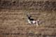 PRONGHORN ANTELOPE IN AUTUMN, ALBERTA