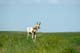 ANTELOPE IN FIELD, GRASSLANDS NATIONAL PARK