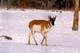 PRONGHORN ANTELOPE IN WINTER, SASKATOON