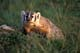 BADGER IN GRASS, GRASSY LAKE AREA