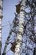 BLACK BEAR CUBS CLIMBING ASPEN TREE, RIDING MOUNTAIN NATIONAL PARK