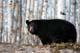 BLACK BEAR IN ASPEN FOREST, PRINCE ALBERT NATIONAL PARK
