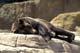 CAPTIVE GRIZZLY BEAR SLEEPING, WINNIPEG