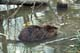 BEAVER FEEDING IN WATER, RIDING MOUNTAIN NATIONAL PARK