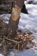 BEAVER CHIPS ON SNOWY GROUND, PRINCE ALBERT NATIONAL PARK