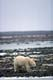 POLAR BEAR WALKING ON SNOWY SHORE, HUDSON BAY, CHURCHILL